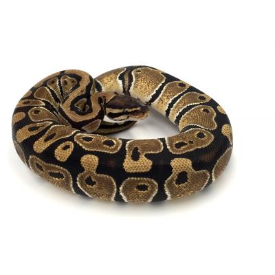 Python regius Forme type 2018
