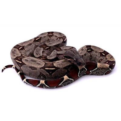 Boa constritor Guyana femelle