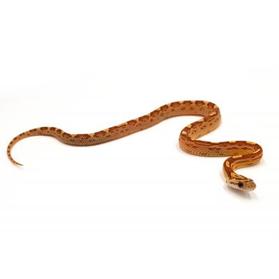 Pantherophis guttatus Amber motley 2020