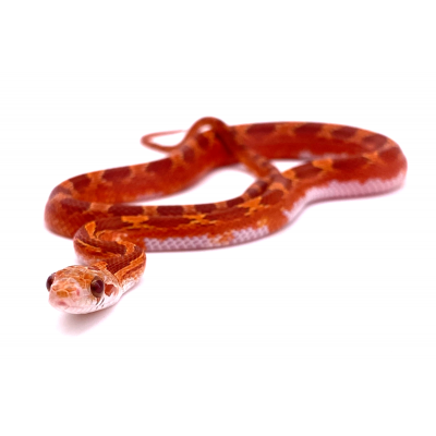 Pantherophis guttatus Hypo blood piedside middle white + 2021