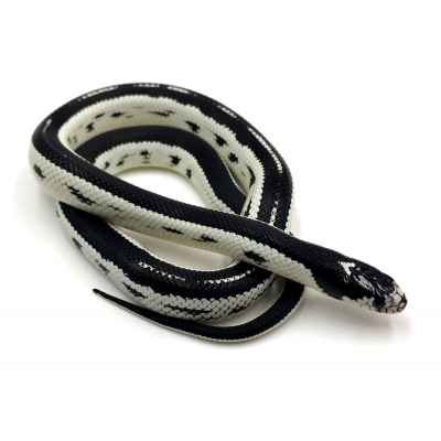 Lampropeltis getulus californiae black stripe
