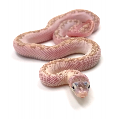 Pantherophis obsoletus Hypo licorice 2020