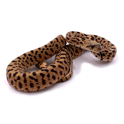 Pituophis catenifer sayi Red tiger sélection mâle 4 2020