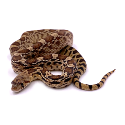 Pituophis catenifer affinis het Ghost 2020