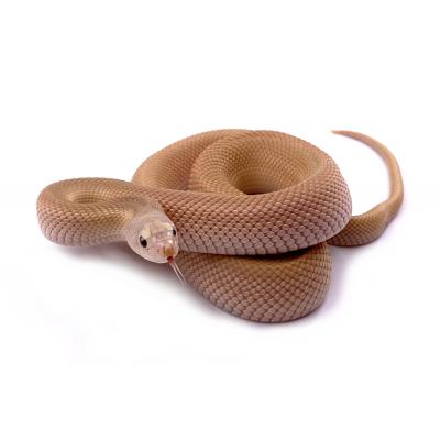 Pituophis melanoleucus mugitus leucistic patternless (leucy) femelle 13