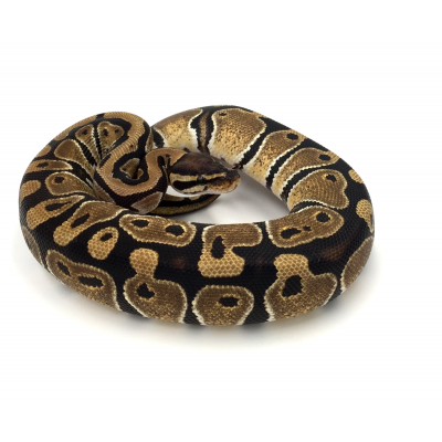 Python regius Forme type 2021
