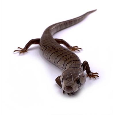 Hemisphaeriodon gerrardii