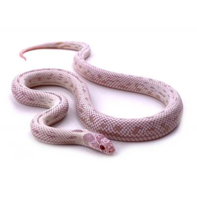 Lampropeltis getulus californiae Banane albinos stripe femelle 26 2019