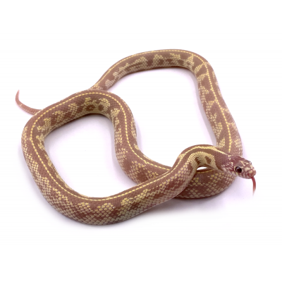 Lampropeltis getulus californiae hypo ruby eyes mâle 24 2019