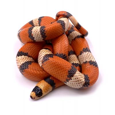 Lampropeltis triangulum hondurensis hypo tricolor mâle 31 2019