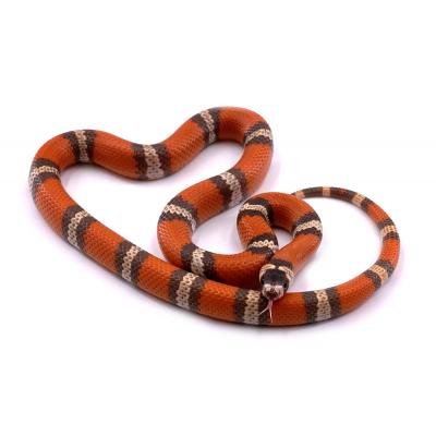 Lampropeltis triangulum hondurensis Super hypo tricolor mâle 32 2019