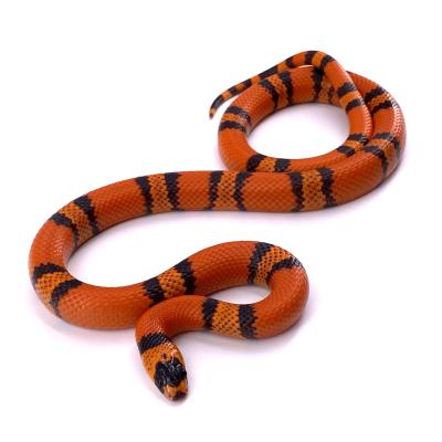 Lampropeltis triangulum hondurensis Super hypo tangerine mâle 38 2019