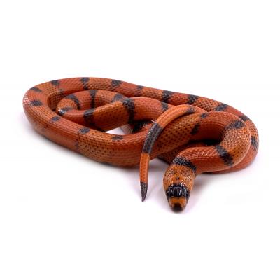 Lampropeltis triangulum hondurensis Super hypo tangerine vanishing patternless femelle 34 2019
