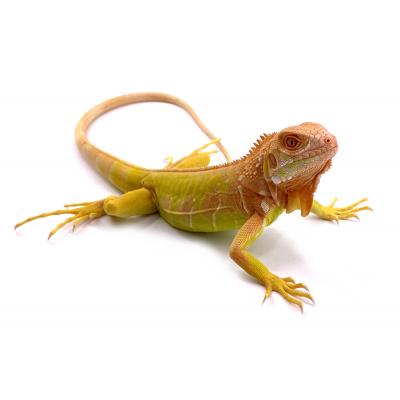 Jack Sparrow - Iguana iguana Crimson mâle