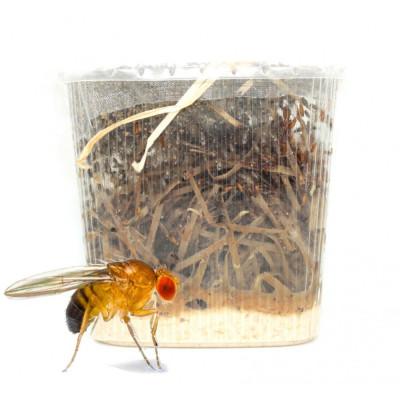 Drosophiles (Drosophila melanogaster)