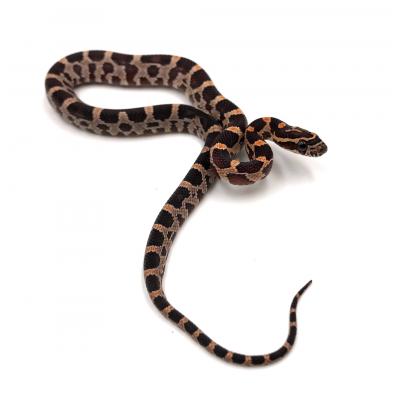 Pantherophis guttatus Forme type 2020