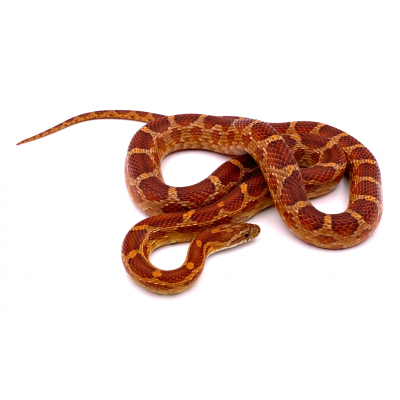 Pantherophis guttatus forme type het scaleless hypoblood piedside 2020