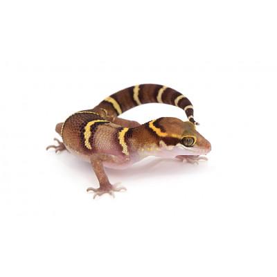 Cyrtodactylus (Gekkoella) deccanensis