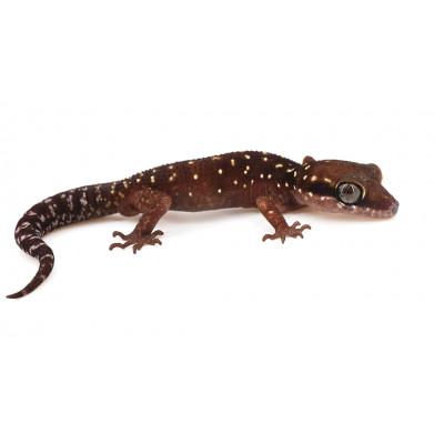 Cyrtodactylus (Gekkoella) triedrus