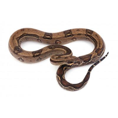 Boa imperator Black stripe Femelle 8 2019