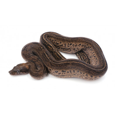 Boa imperator Black stripe Mâle 7 2019