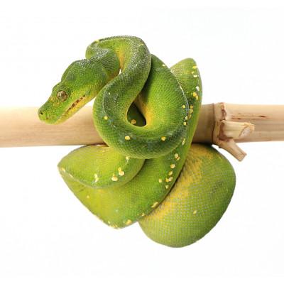 Morelia viridis Sorong mâle 4