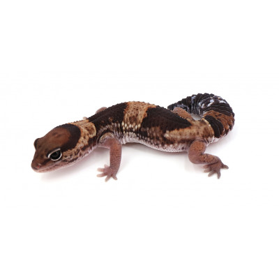 "Hemitheconyx caudicinctus Forme type het oreo possible het zulu ghost femelle ""zala4e"""