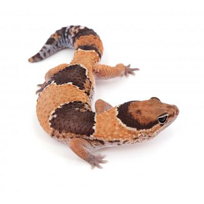 "Hemitheconyx caudicinctus Forme type het zulu poss het oreo mâle ""zld5"""