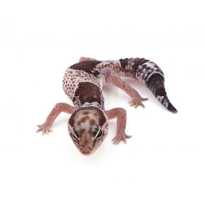 Hemitheconyx caudicinctus Oreo femelle 1 2020