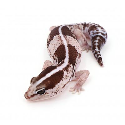 """Hemitheconyx caudicinctus Oreo stripe het caramel poss het zulu mâle """"hcoz1"""""""