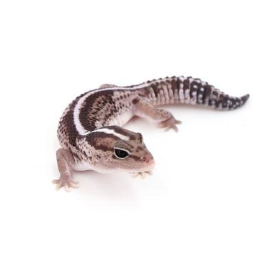 "Hemitheconyx caudicinctus Oreo stripe het patternless male ""wohpjess1"""