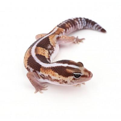 "Hemitheconyx caudicinctus Stripe poss het ghost zulu mâle ""zuluste5c"""