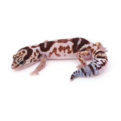 """Hemitheconyx caudicinctus White out poss het ghost zulu mâle """"zuluste5d3"""""""
