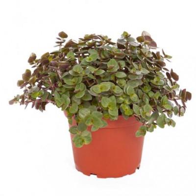 Callisia plante nourrissante