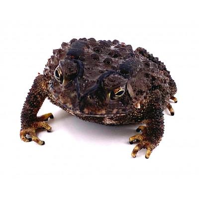 Dattaphrynus (Bufo) melanostictus