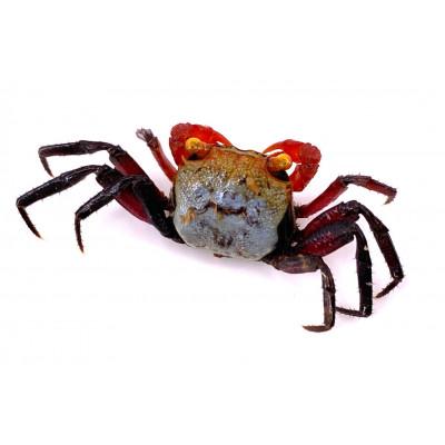 Geosesarma spp. - Crabe vampire Bicolore