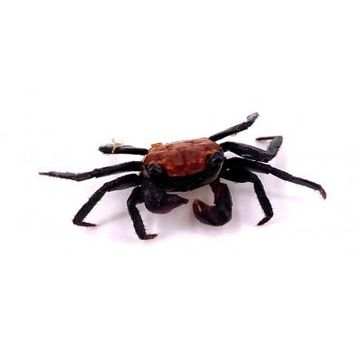 Geosesarma spp. - Crabe vampire Purple tangerine