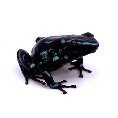 """Dendrobates auratus """"Camouflage"""""""