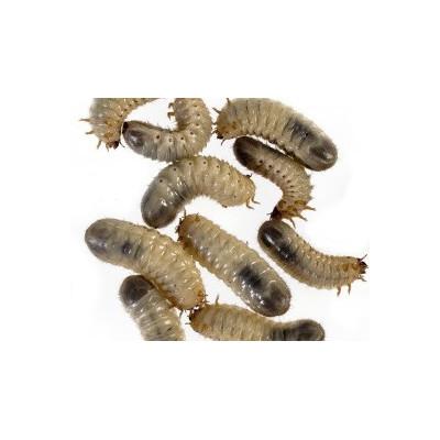 Larve de cétoine (Cetonia aurata)