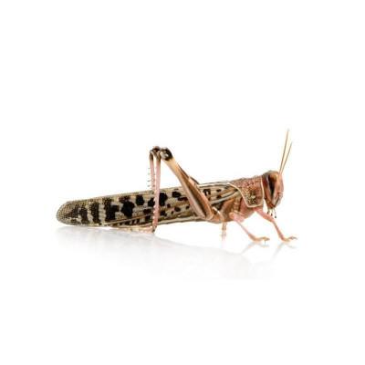 Criquets migrateurs (Locustra migratoria)