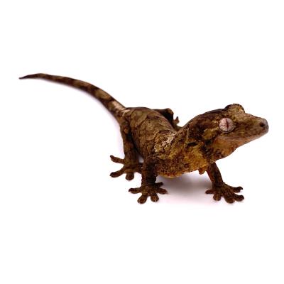 Mniarogekko (Rhacodactylus) chahoua Mainland