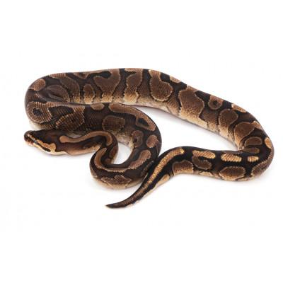 Python regius Red stripe mâle A70
