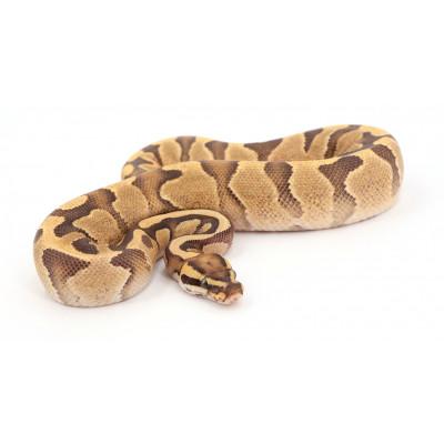 Python regius Fire enchi mâle A63