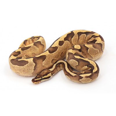 Python regius Fire enchi mâle A64