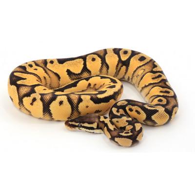 Python regius Pastel orange dream mâle A75