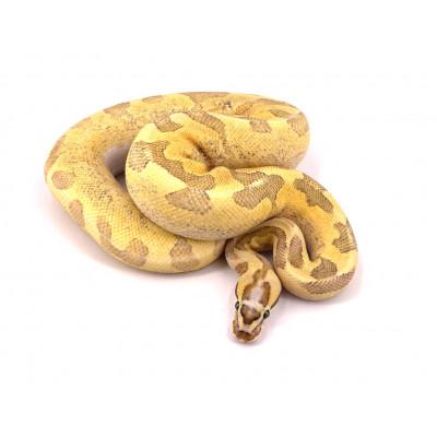 Python regius Super enchi fire vanilla yellow belly mâle 2019 23291