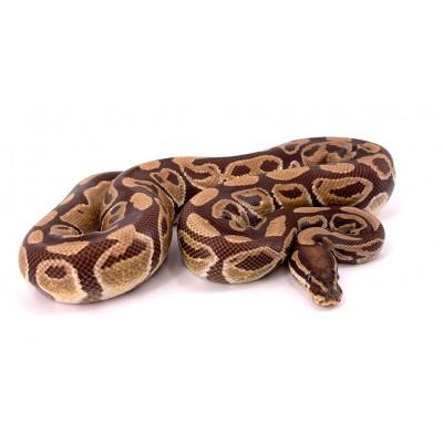 Python regius Bourgogne mâle 2019 23416