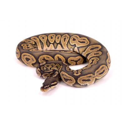 Python regius Black pastel hypo mâle 2019 80573