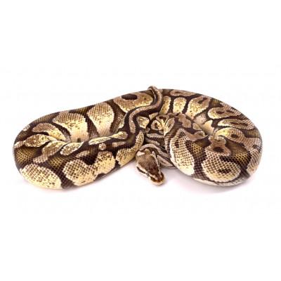 Python regius Firefly femelle 2012 27081