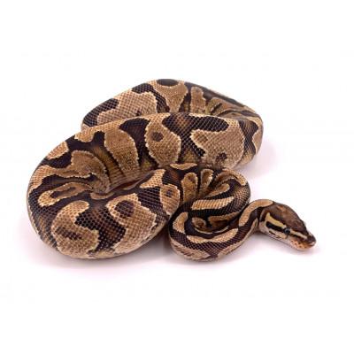 Python regius Enchi fire yellow belly mâle 2019 23186
